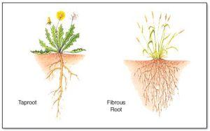 Fibrous-Tap-Roots