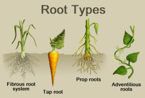 root_structure